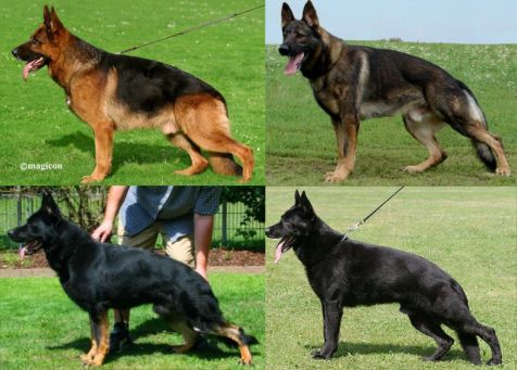 German Shepherd coat colors