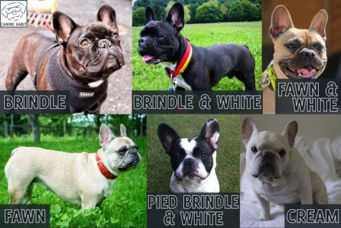 french bulldog coat colors