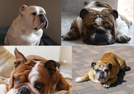 pictures of english bulldogs coat