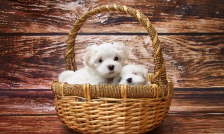 "Want A Purebred Puppy? Looking For ""Just A Family Pet""? Talk to Reputable Breeders – No Pet Stores, Puppy Mills or BYBs"