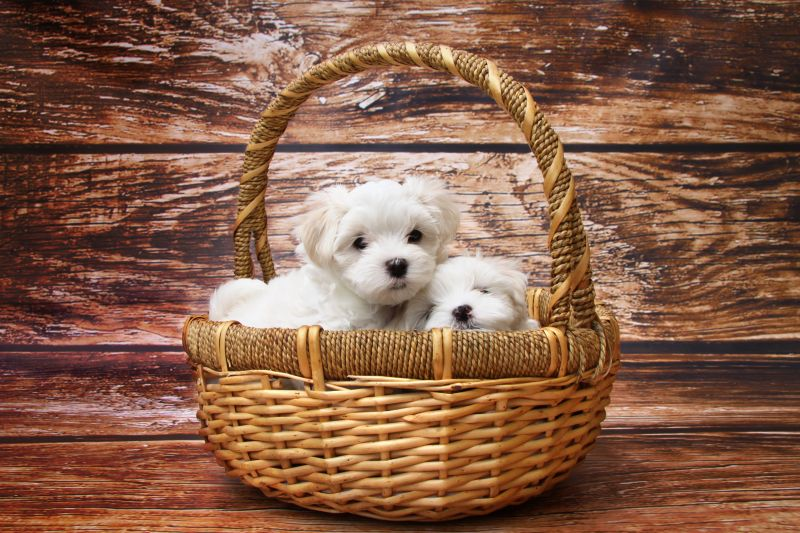 Why You Should Buy Your Next Purebred Puppy From a Reputable Breeder – No Pet Stores, Puppy Mills or BYBs