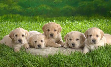 Service Dogs – How To Pick A Service Dog Puppy