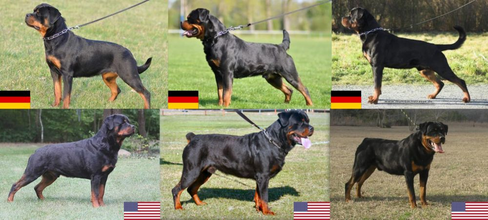 The Rottweiler A Patient Family Dog And Gentle Giant Just Dont