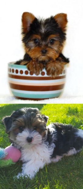 types of yorkshire terriers