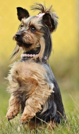 yorkshire terrier personality